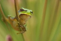 European Tree frog (Hyla arborea) on flowering rush (Butomus umbellatus). Muselievo, Laubfrosch auf Schwanenblume, Nikopol, Bulgaria.