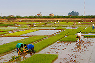 Transplanting rice in Hanoi Province, between Hoa Lac and Son Tay, Vietnam.