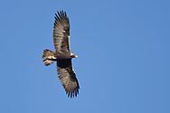 Golden Eagle - Aquila chrysaetos