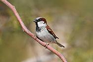 House Sparrow - Passer domesticus