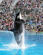 March 17, 2016 - San Diego, California, U.S. - <br /> <br /> SeaWorld trainers with killer whales during the Shamu's One Ocean show at SeaWorld in San Diego on Thursday.  SeaWorld announced Thursday that it's ending its practice of killer whale breeding after years of controversy over keeping orcas in captivity.<br /> ©Exclusivepix Media