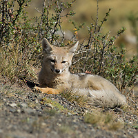 A young Patagonian fox relaxes in Torres del Paine National Park, Chile.