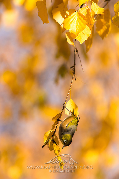 Silvereye foraging for nectar and berries amongst the autumn trees in Central Otago, New Zealand