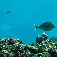 Bluespine Unicornfish, Naso unicornis, Maui Hawaii