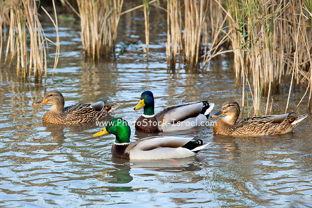 Mallard (Anas platyrhynchos) male and females swimming in the water. Photographed in Israel, in September