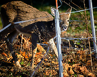 Young Deer inside the Electric Fence. Image taken with a Fuji X-H1 camera and 200 mm f/2 camera + 1.4x teleconverter (ISO 200, 280 mm, f/2.8, 1/2900 sec).
