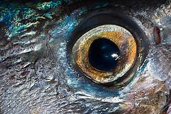 Eye of a Wahoo, Pacific Kingfish or Ono in Hawaiian, Acanthocybium solandri, off Kona Coast, Big Island, Hawaii, Pacific Ocean