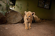 Dash, a two month old male lion (Panthera leo) cub on the grounds of the Chipangali Wildlife Orphanage in Bulawayo, Zimbabwe. © Michael Durham / www.Durmphoto.com