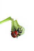 Oak Leaf Roller Beetle (Attelabus nitens) Göhrde, Germany (sequence 8/9) | Das Eichenblattroller-Weibchen (Attelabus nitens) vollendet die letzte Wicklung der Rolle.