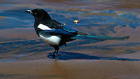 Black-Billed Magpie in Medano Creek. Great Sand Dunes National Park, Colorado. Image taken with a Nikon D300 and 80-400 mm VR lens (ISO 200, 400 mm, f/8, 1/1000 sec).