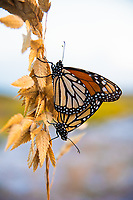 "A pair of Monarch butterflies ""getting busy"" on some sea oats making the next generation of monarchs that will continue their multi-generational migration to or from Mexico to the Northern United States and Canada. These were found and photographed on Pensacola Beach on the Florida Panhandle, which is very likely their last stop on dry land before they fly southwest over the Gulf of Mexico over hundreds of miles of open water."