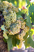 Viura green grapes for Rioja white wine in vineyard in Rioja-Alavesa area of Basque country, Spain