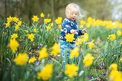 © Licensed to London News Pictures . 24/03/2021. Manchester , UK .  AMELIE STRUTHERS (20 months , from Chorlton) plays amongst daffodils in the sunshine in Chorlton Park on the first week of Spring 2021 . Photo credit : Joel Goodman/LNP