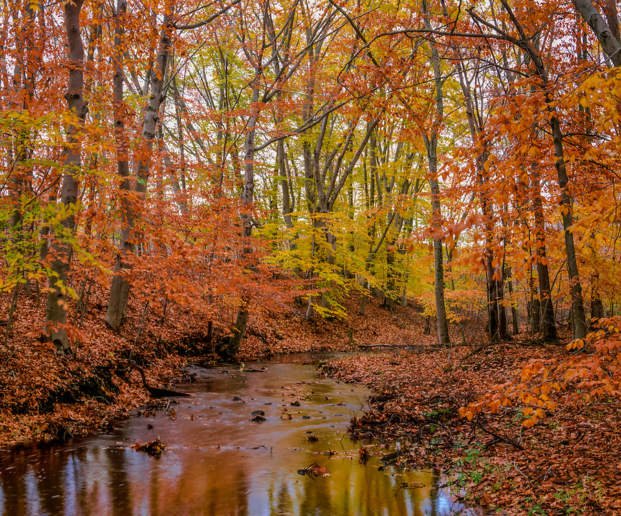 Beech trees in fall foliage at edge of brook, leaves on ground, Waterford, CT