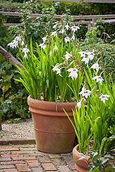 Gladiolus callianthus syn. Acidanthera bicolor var murielae, A. murielae in a terracotta pot