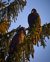 Two Turkey Vultures in the Late Afternoon Sun. Image taken with a Nikon D4 camera and 80-400 mm VRII telephoto zoom lens (ISO 280, 400 mm, f/5.6, 1/400 sec).