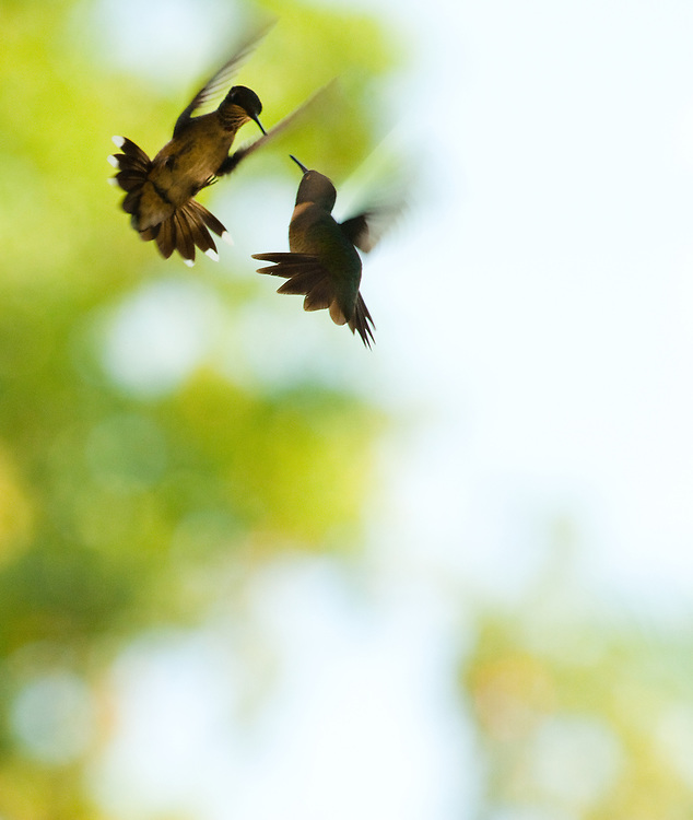 Territorial hummingbirds sparring over a plastic, sugar water feeder, Houston, Texas