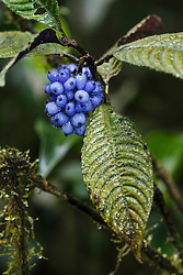 Blue berries in premontane cloud forest, Nectandra Cloud Forest Garden, Costa Rica.
