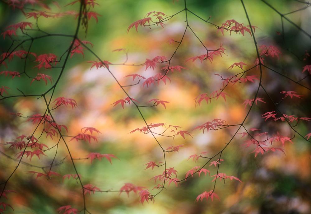Japanese maple, autumn, Washington Park Arboretum, Seattle, Washington, USA