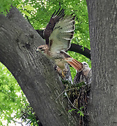 The red-tailed hawk parent with new born chicks on the nest in Central Park, NYC.