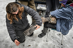 """Rachel Wheat, a graduate student at the University of California Santa Cruz counts the primary feathers on a bald eagle's (Haliaeetus leucocephalus) wing in preparation for clipping a small sample for stable isotope analyses. For consistency, she removed approximately two centimeters from the fourth secondary feather of each eagle's right wing. By counting out the ten primary feathers, she knew where to start counting to access the fourth secondary. Wheat is conducting a bald eagle migration study of eagles that visit the Chilkat River for her doctoral dissertation. She hopes to learn how closely eagles track salmon availability across time and space. The bald eagles are being tracked using solar-powered GPS satellite transmitters (also known as a PTT - platform transmitter terminal) that attach to the backs of the eagles using a lightweight harness. Assisting Wheat with the measurements and transmitter installation by holding the eagle is Yiwei Wang, graduate student, University of California Santa Cruz. The latest tracking location data of this bald eagle known as """"2Z"""" can be found here: http://www.ecologyalaska.com/eagle-tracker/2z/ . During late fall, bald eagles congregate along the Chilkat River to feed on salmon. This gathering of bald eagles in the Alaska Chilkat Bald Eagle Preserve is believed to be one of the largest gatherings of bald eagles in the world."""