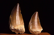 Marine Reptile Tooth, Fossil, Cretaceous period time, black background, cut out, 65 Million years ago