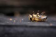 Dying honey bee (Apis mellifera) at hive entrance. Dorset, UK.