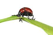 Oak Leaf Roller Beetle (Attelabus nitens) Göhrde, Germany (sequence 3/9) |  Das Weibchen des Eichenblattrollers (Attelabus nitens) beißt zunächst die Hauptader des Eichenblattes an, damit es welk wird.