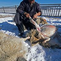 MONGOLIA, Darhad Valley.  After fall temperatures have fallen below zero, a herder butchers sheep for open-air, frozen transport to Ulaanbaator.
