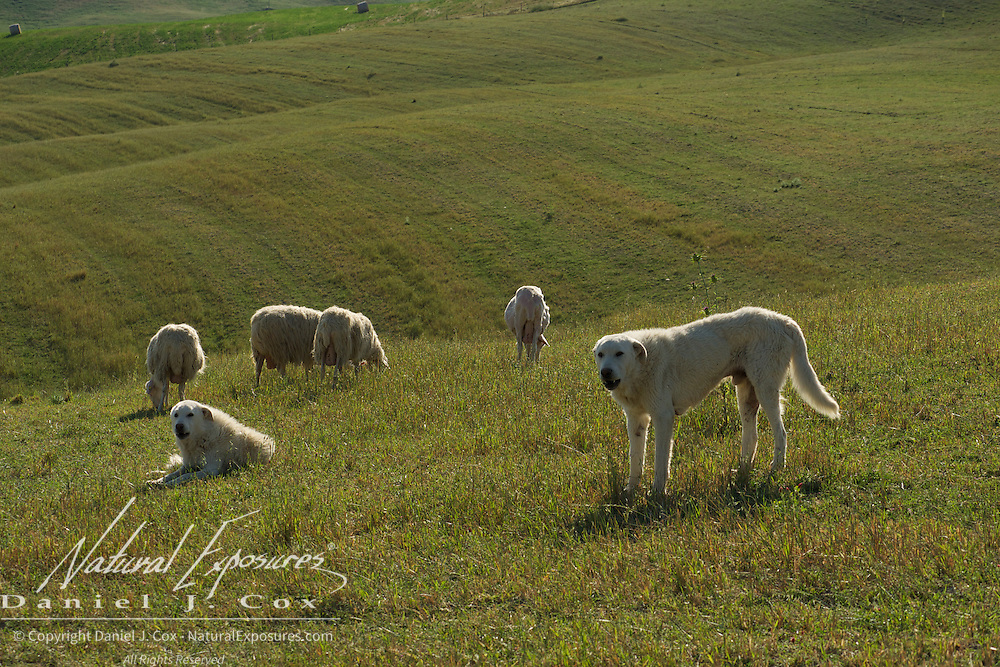 Dogs guarding a flock of sheep in the southern Tuscany area of Italy