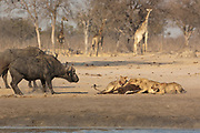 Lions (Panthera leo) feeding on a sable carcass they have just caught at a waterhole. Some buffalo bulls who have little fear of the lions are approaching to show their dislike at having the pride at the waterhole.<br /> Makalolo Plains. Hwange National Park. ZIMBABWE. Southern Africa<br /> HABITAT: Found in most habitats and healthy populations exist in the National Parks and protected areas.  Generally though their numbers are in decline due to human pressure.