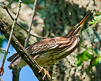 Green Heron (Butorides virescens). Sourland Mountain Preserve. Image taken with a Nikon D810a camera and 500 mm f/4 VR lens.