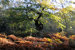 ©London News pictures...25/10/2010. A frosty autumn morning at Burnham Beeches, South Buckinghamshire on Monday 25th October 2010. The Beeches, covering 220 hectares, is primarily noted for its ancient beech and oak pollards and the range of flora and fauna associated with old trees and decaying wood.