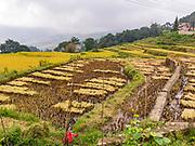 Harvested rice in the Rice Paddies, Yunnan, China