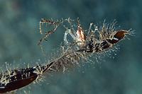 Long-legged spider crab, Macropodia rostrata, on a new kelp leaf.Moere coastline, Norway