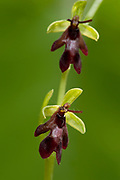 Fly Orchid, Ophrys insectifera, Yockletts Bank, Kent Wildlife Trust, UK, superficially look like insects, purple