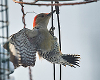 Red-bellied Woodpecker (Melanerpes carolinus). Image taken with a Nikon D5 camera and 600 mm f/4 VR lens