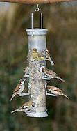 Common Garden Birds at Bird Feeder