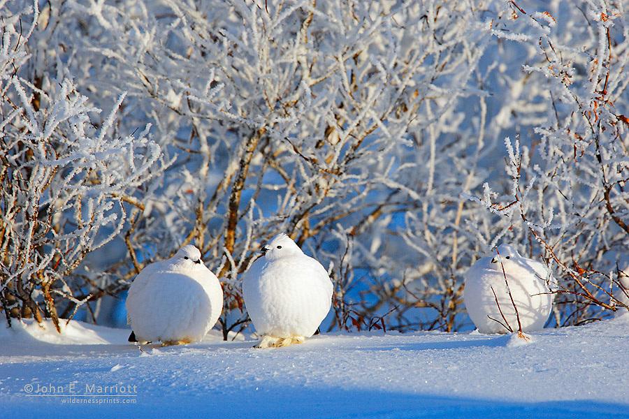 Willow ptarmigan in winter