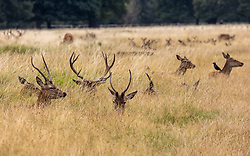 Licensed to London News Pictures. 01/09/202. London, UK. Deer relax in the long autumnal golden brown grass in Richmond Park, south-west London today on the first day of Meteorological Autumn. Weather forecaster have predicted very warm weather for the weekend and next week for the South East, with temperatures in excess of 27c expected. Photo credit: Alex Lentati/LNP