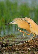 Squacco heron, Ardea ralloides, Lake Kerkini, Macedonia, Greece