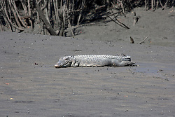 A croc snatches forty winks on the banks of the Hunter River, on the Kimberley coast.