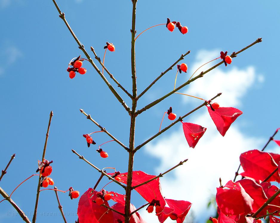 Burning Bush leaves (Euonymus alata) blaze against a deep blue fall sky, Bar Harbor, Maine.