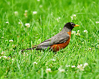 American Robin. Image taken with a Nikon D300 camera and 600 mm f/4 VR lens.