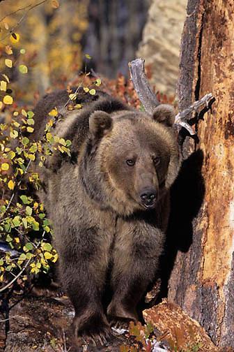 Grizzly Bear, (Ursus horriblis) In western Rockies. Montana.    Captive Animal.