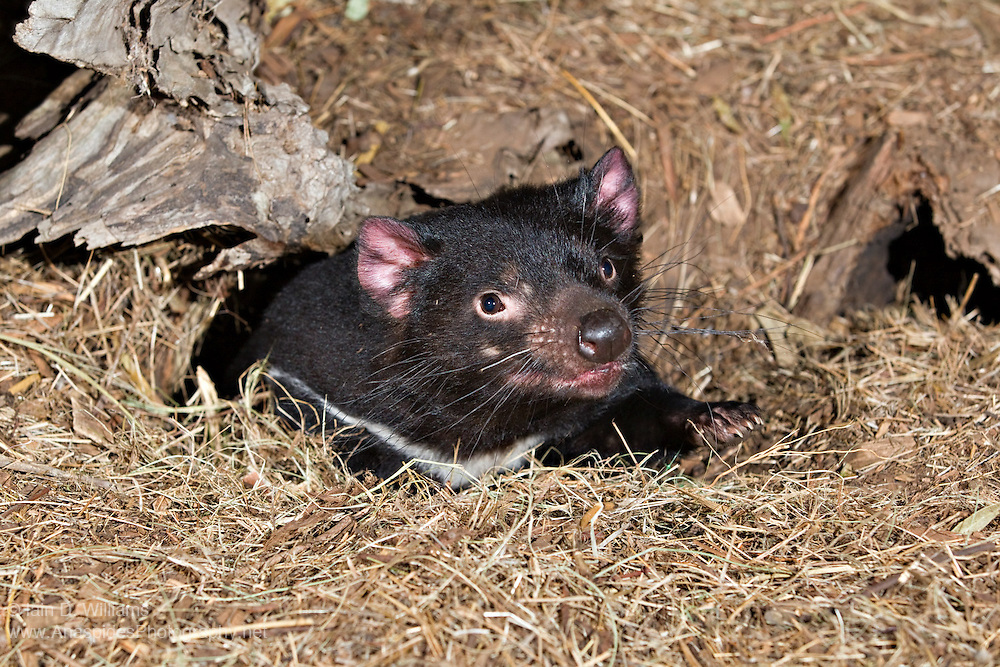 The Tasmanian Devil (Sarcophilus harrisii) is a nocturnal, carnivorous marsupial of the family Dasyuridae.  The devil can only be found in the wild in the Australian island state of Tasmania.  Devils are becoming increasingly uncommon and difficult to find, due to the spread of a cancer-like virus named Devil Tumour Disease.  The disease, which is spread via contact with other devils, causes large growths to develop around the facial area.  The cancerous growths eventually lead to the devil's death