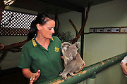 Australia, New South Wales, Sydney. Featherdale wildlife park caretaker and captive koala (Phascolarctos cinereus)