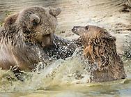Otisville, New York -Bears play in the water at the Orphaned Wildlife Center on Sept. 7, 2016.