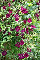 Clematis viticella 'Royal Velours' growing through Viburnum opulus - Guelder rose