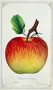 Twenty Ounce Apple Variety from Dewey's Pocket Series ' The nurseryman's pocket specimen book : colored from nature : fruits, flowers, ornamental trees, shrubs, roses, &c by Dewey, D. M. (Dellon Marcus), 1819-1889, publisher; Mason, S.F Published in Rochester, NY by D.M. Dewey in 1872